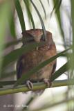 Owl, Reddish Scops