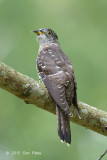 Cuckoo, Indian (juv) @ Bidadari