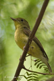 Flycatcher, Green-backed (female) @ Tuas