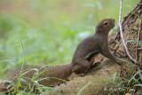 Squirrel, Plaintain @ Bidadari
