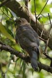 Sparrowhawk, Japanese (subadult male) @ Bidadari