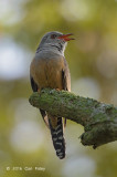 Cuckoo, Plaintive (male) @ Pasir Ris Park
