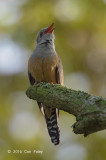 Cuckoo, Plaintive (male) @ Pasir Ris Park