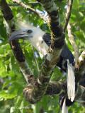 Hornbill, White-crowned (male)