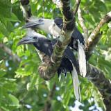 Hornbill, White-crowned (pair)