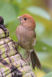 Parrotbill, Vinous-throated