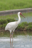 Crane, Siberian