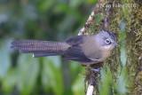 Barwing, Black-crowned