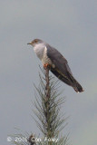 Cuckoo, Oriental