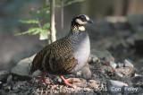 Partridge, Taiwan