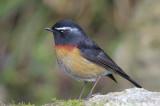 Bush-Robin, Collared