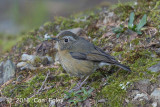 Bush-Robin, White-browed (female)