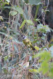 Finchbill, Collared