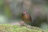 Flycatcher, Snowy-browed