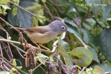 Fulvetta, Grey-cheeked