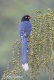 Magpie, Taiwan Blue