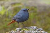 Redstart, Plumeous