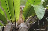 Owl, Buffy Fish (juvenile) @ Sungei Buloh