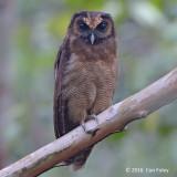Owl, Brown Wood