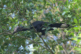 Hornbill, Black (female) @ Ubin