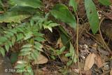 Babbler, Black-capped (nest)