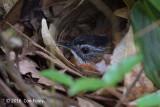 Babbler, Black-capped (adult sitting on nest)