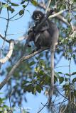 Langur, Dusky (male)