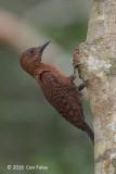 Woodpecker, Rufous (male)