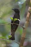 Cuckoo, Asian Drongo (adult)