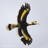 Hornbill, Great