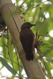 Woodpecker, Rufous (female) @ The Gap