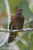 Dove, Little-cuckoo