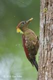 Woodpecker, Crimson-winged
