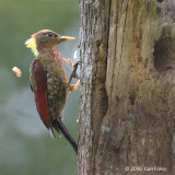 Woodpecker, Crimson-winged (female) @ Telecom Loop