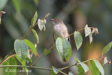 Bulbul, Spectacled @ Hwy 55