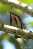 Flowerpecker, Fire-breasted (male) @ Telecom Loop