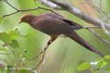 Dove, Little Cuckoo (male) @ Jeriau Waterfall