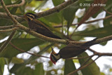 Woodpecker, Olive-backed (pair)