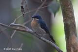 Flycatcher, Malaysian Blue (female)