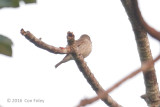 Flycatcher, Brown-streaked
