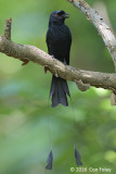 Drongo, Greater Racket-tailed @ Dairy Farm