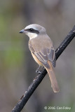 Shrike, Brown