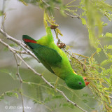Parrot, Yellow-throated Hanging