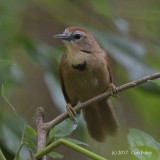 Babbler, Crescent-chested