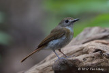 Flycatcher, Fulvous-chested Jungle @ Bali Barat