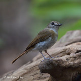 Flycatcher, Fulvous-chested Jungle