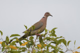 Dove, Sunda Collared @ Bali Barat