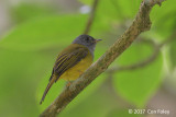 Flycatcher, Grey-headed Canary @ Bedugul