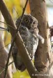 Owl, Oriental Scops (grey morph) @ Dairy Farm