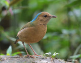 Pitta, Blue-naped (male) @ Tam Dao
